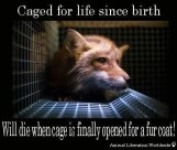 Fur and skin trade - Fox 01 caged for life since birth