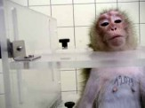 Laboratory testing - Monkeys 2