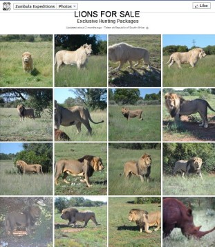 Lions - For sale to be trophy hunted