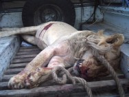 Lions - Lioness killed