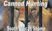 Lions - Poster for canned hunting 05