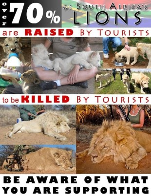 Lions - Poster for canned hunting 13