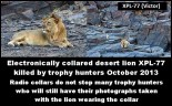 Lions - Radio collared but still trophy hunted 02