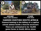Lions - Tiger and Jaguar trophy hunted