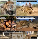 Lions - Trophy hunted composites 1