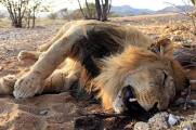 Lions - Trophy hunting 27