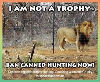 Lions - Trophy hunting 34