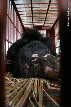 Wildlife - Bear bile 04