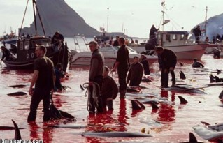 15 Oceans and rivers - Dolphin slaughter in Denmark and Japan 01