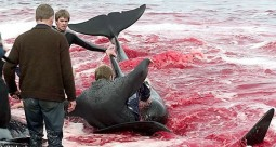 19 Oceans and rivers - Dolphin slaughter in Denmark and Japan 05