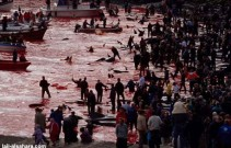 22 Oceans and rivers - Dolphin slaughter in Denmark and Japan 07