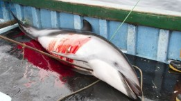 34 Oceans and rivers - Dolphins killed