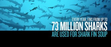 68 Oceans and rivers - Sharks 73 million killed every year for shark fin soup