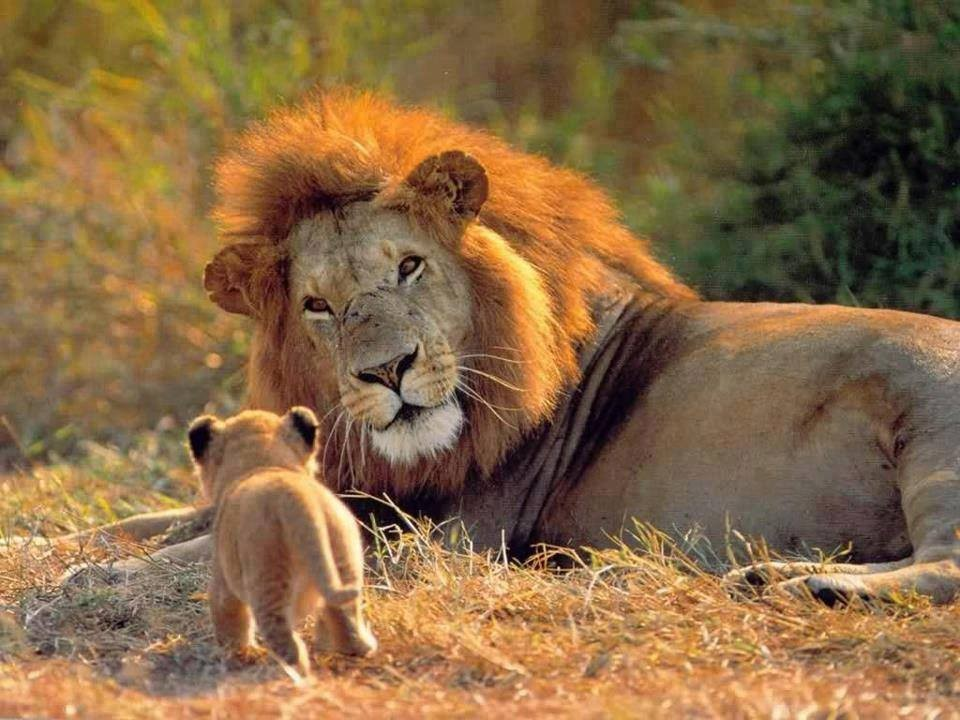 Lions – Male and cub 07 | END Trophy Hunting NOW