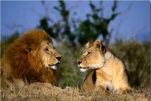 Lions – Male and female 03 | END Trophy Hunting NOW