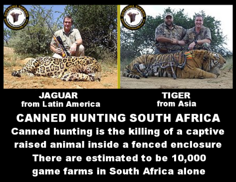 Lions - Tiger and Jaguar trophy hunted